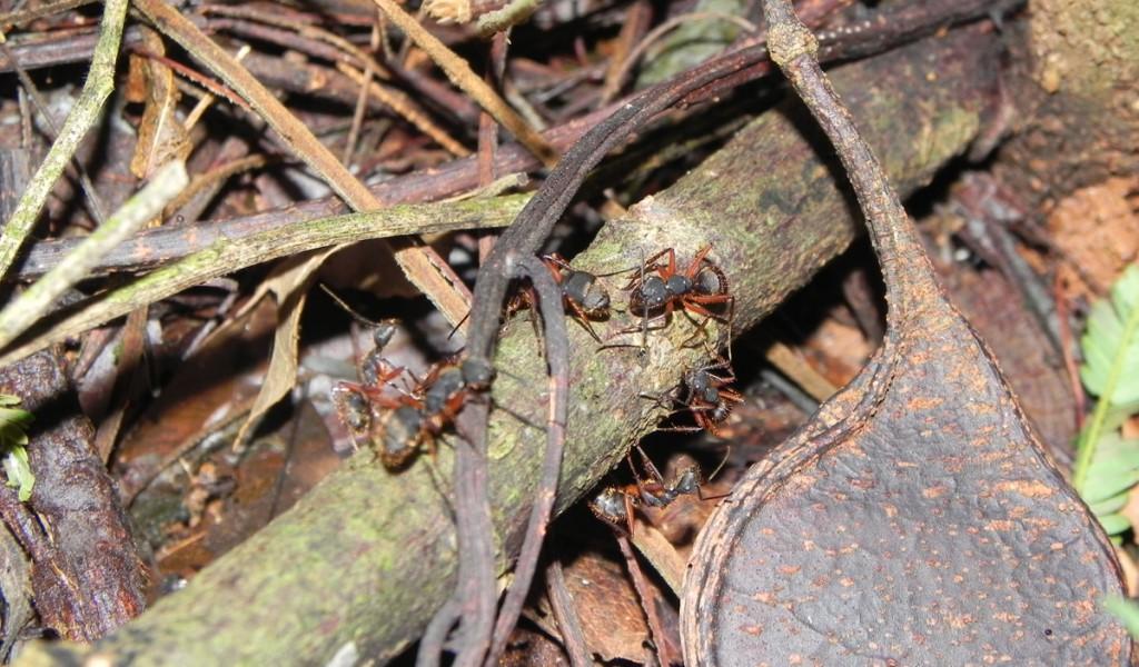 Formigas Camponotus rufipes
