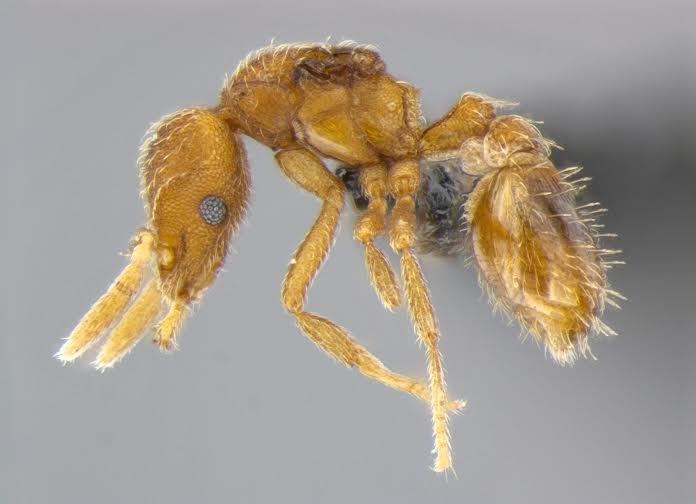 Formiga do gênero Strumigenys coletada nas savanas do norte da Austrália.