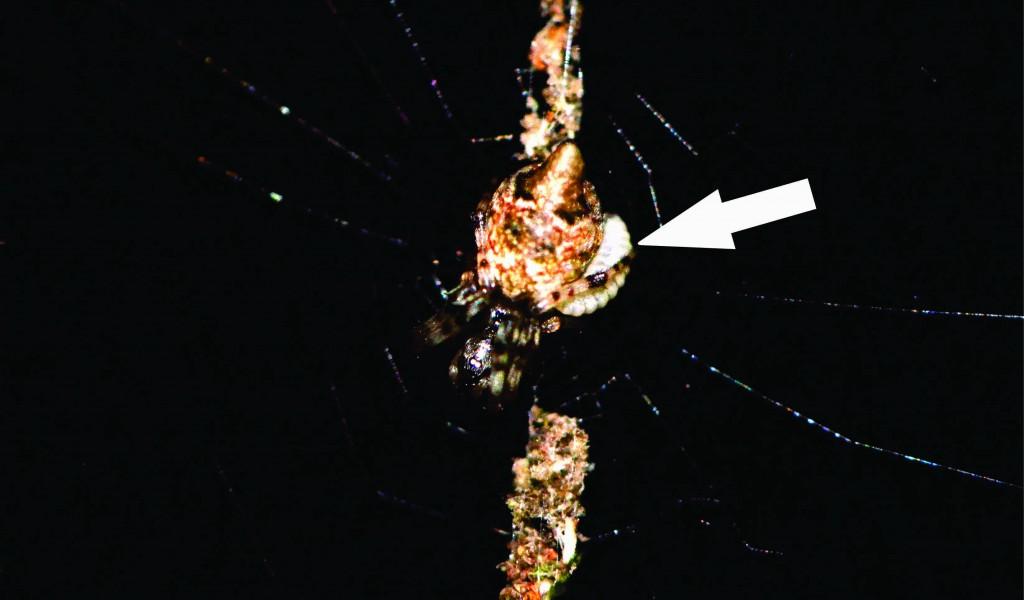02 - Cyclosa morretes parasitized by Polysphincta janzeni  (arrow)