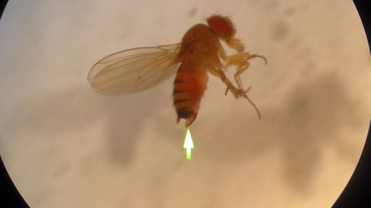 D. suzukii femea, seta indica ovipositor caracteristico  da espe cie